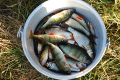 Freshly caught fish. Overhead view of freshly caught fish in metal bowl or bucket Stock Image