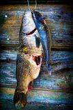 Freshly caught fish. Hanged on barn door waiting to be cooked Royalty Free Stock Image