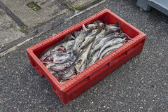 Freshly caught fish ( Cod fish ) is unloaded from a fishing boat Royalty Free Stock Image