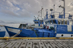 Freshly caught fish ( Cod fish ) is unloaded from a fishing boat Royalty Free Stock Photography