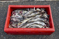 Freshly caught fish ( Cod fish ) is unloaded from a fishing boat Stock Images