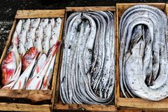 Freshly caught fish, at the harbour of Essaouiera, Morocco royalty free stock photography