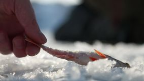 Freshly caught fish from the hole on the ice stock footage