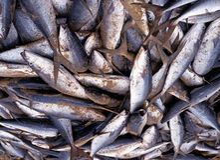 Freshly caught fish, Tobago. Royalty Free Stock Images