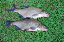 Freshly caught fish Stock Photos