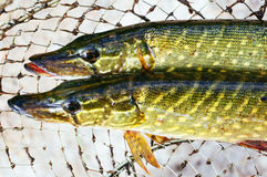 Freshly caught fish Royalty Free Stock Image