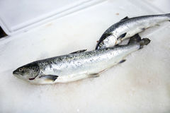 Freshly caught fishes on ice Stock Images
