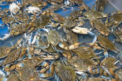 Live slue crabs at supermarket in Houston, Texas, USA Royalty Free Stock Photos