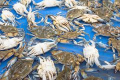 Live slue crabs at supermarket in Houston, Texas, USA Stock Photo