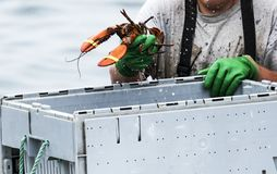 Maine Lobster being sorted into bins at the end of the day Stock Photography