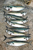 Freshly caught mackerels Stock Photo