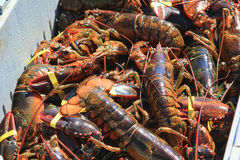 Freshly Caught Maine Lobster Royalty Free Stock Photo