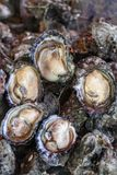 Freshly caught oysters Royalty Free Stock Photos