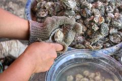 Freshly caught oysters Stock Photos