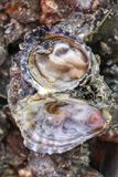 Freshly caught oysters Royalty Free Stock Photography