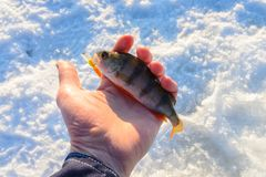 Freshly caught perch in hand, bite for catching big predator fish. Winter fishing.  Royalty Free Stock Images