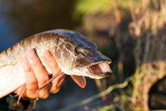 Freshly caught pike. Catch fisherman. Fisherman caught pike. Royalty Free Stock Photo
