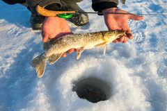 Freshly caught pike fish in hands, fisherman success. Winter ice fishing.
