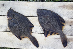 Freshly caught plaice. The Pacific ocean, Kamchatka Stock Images