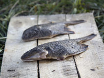 Freshly caught plaice. The Pacific ocean, Kamchatka Royalty Free Stock Photography