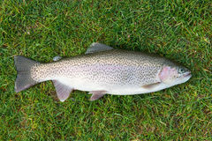 Freshly caught rainbow trout Stock Photography