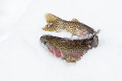 Freshly caught rainbow trout in the snow Stock Photography