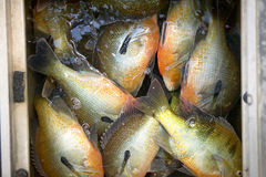Freshly caught redbreast sunfish in a boat hold. Freshly caught redbreast sunfish, Lepomis auritus, in a boat hold viewed from above on a successful freshwater Royalty Free Stock Photo