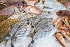 Freshly caught saddled seabream or Oblada melanura on the counter in a greek fish shop. Horizontal. Close-up stock image