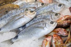 Freshly caught saddled seabream or Oblada melanura on the counter in a greek fish shop. Horizontal. Close-up royalty free stock image
