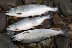 Freshly caught salmon pink. Pink salmon, freshly caught mature female and male Stock Photos
