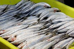 Freshly caught sardines. Royalty Free Stock Photos