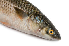 Freshly caught sea fish Mullet. Front part of the body sea fish Mullet or Haarder, isolated on white Royalty Free Stock Photos