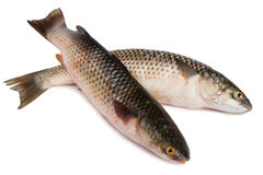 Freshly caught sea fish Mullet. Or Haarder, isolated on white Stock Photography
