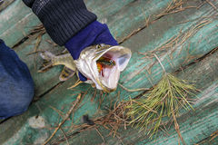 Freshly caught small pike Stock Photography