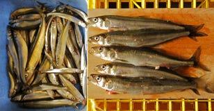 Freshly Caught Smelt Ice Fishing Royalty Free Stock Photo