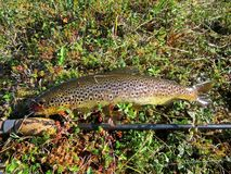 Freshly caught trout on spinning. Fishing on the fast taiga river. royalty free stock photos