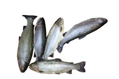 Freshly caught trouts lying on. White background Royalty Free Stock Image