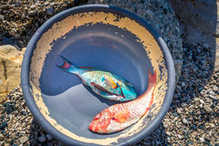 Freshly caught vivid blue and red tropical fish in old dish, Barahona, Dominican Republic Stock Photos