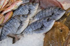 Freshly caught white seabream or Diplodus sargus on the counter in a greek fish shop. Horizontal. Close-up stock photography