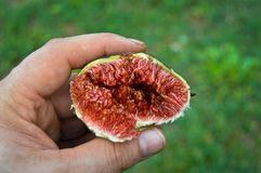 Freshly chopped figs from the branch. Inside red and very sweet royalty free stock photo