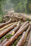 Freshly chopped tree logs Royalty Free Stock Photos