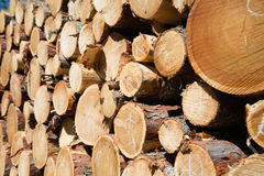 Freshly chopped tree logs Royalty Free Stock Images