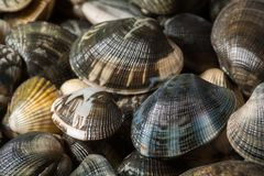 Freshly clams from the seabed Stock Photos