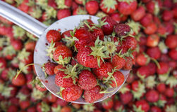 Freshly collected strawberries on a bed with a metal spoon Royalty Free Stock Image