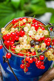 Freshly collecting wild currant fruits Royalty Free Stock Image