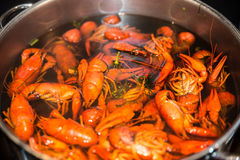 Freshly cooked crayfish with dill and salt. In a large saucepan Royalty Free Stock Images
