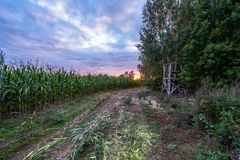 Freshly Cultivated Organic Corn Field for Biomass on Cloudy Summer Evening with Sunset Colors. Concept of Nutrition full Vegetables and Renewable Energy for stock photos