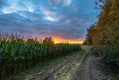 Freshly Cultivated Organic Corn Field for Biomass on Cloudy Summer Evening with Sunset Colors. Concept of Nutrition full Vegetables and Renewable Energy for royalty free stock photo