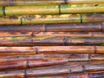 Freshly Cut Bamboo Poles. To be used for fences or construction Stock Image