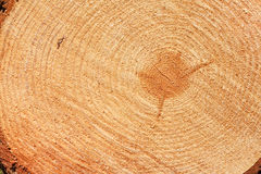 Freshly cut fir tree rings Royalty Free Stock Photos
